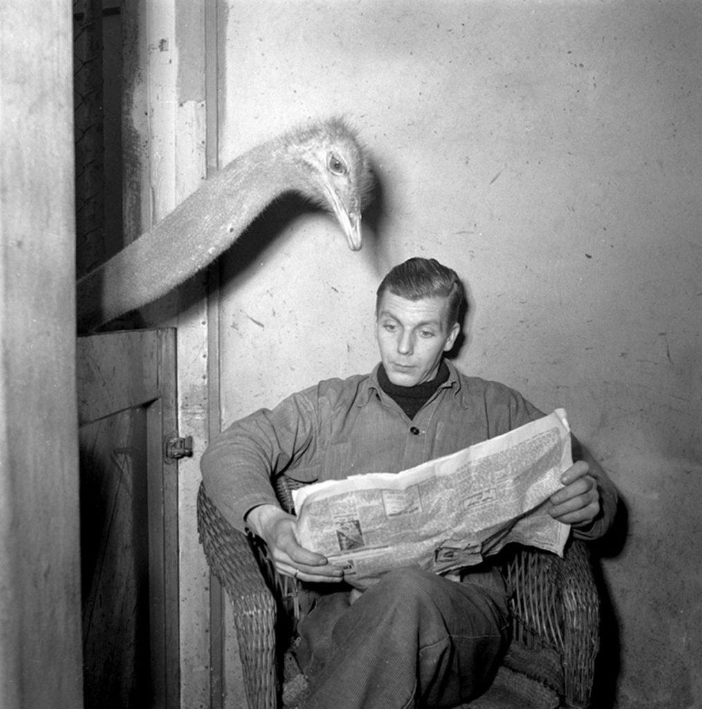 Artis struisvogel leest krant van oppasser, 1951. Imagen de Noske, J.D. Anefo